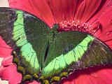 Macro photo of butterfly on a red flower. Wings looks like emeralds.