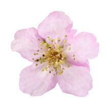 Bramble Flower (Rubus Ulmifolius)