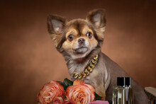 Well Groomed Chihuahua Dog Close-up Portrait With Rose Flowers And Perfume - Dogs Dating And Breeding Concept.