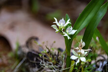 Orchid In Wild Nature