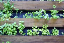 Herb, Raised Garden Bed