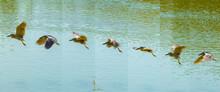 Night Heron Flying Posture