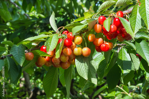 closeup of ripe Rainier cherries hanging on cherry tree branch with blurred back Fototapet