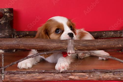 Fotografia, Obraz Purebred cute puppy  dog Cavalier King Charles Spaniel
