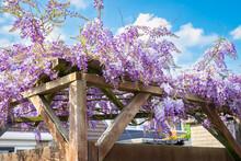 Purple Colored Wisteria Sinensis (Chinese Wisteria) Grows On A Pergola