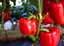 Close Up Capsicum Annuum Red Sweet Pepper Group With Water Drops Hanging On Vine Of Tree In Organic Vegetables Farm Background