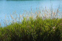 Closeup Shot Of Green Grass And Reeds Growing Near The Lake