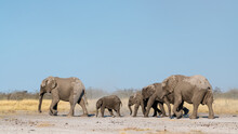 A Herd Of Elephants With Large And Small Ones Leaves The Waterhole In Etosha National Park, Namibia, Africa.