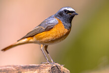 Common Redstart Perched On Branch Of Tree