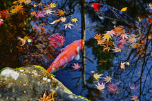 日本庭園の池の鯉(日本)