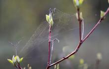 Zwei Junge Triebe Eines Baumes Sind Mit Einem Spinnennetz Verwoben.