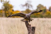 Buzzard Bird Of Prey Landing On A Tree Stump