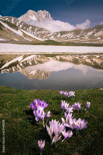Fotografie, Obraz la fioritura dei crocus a campo imperatore, vista dal laghetto pietranzoni  con