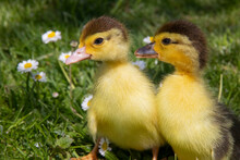 Little Yellow Ducklings Sitting On The Green Grass And Flowers. Cute Newborn Tiny Ducklings. Close Up