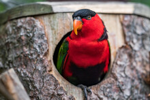 Black-capped Lory (Lorius Lory Erythrothorax), Also Known As The Tricolored Lory. Wildlife Animal. Full Of Colors. It Is A Parrot Found In New Guinea And Adjacent Smaller Islands.