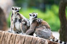 Tailed Lemur (Lemur Catta) Family Of Lemurs Sitting On A Branch