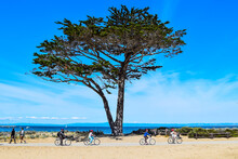 Bike Riders And Walkers Enjoy An Active Lifestyle And Cypress Tree (Cupressus Macrocarpa) On  The Monterey Bay Coastal Trail On Clear Day On The Central Coast Of California.