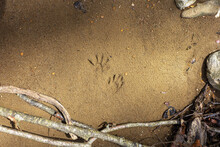 The Tracks Of A Small Raccoon On A Sandy Beach In The Rays Of The Morning Sun In Spring In Nature.