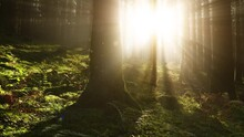 Morning Sun Rays Shining Through The Canopies In The Fairy Tale Woods.