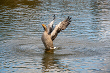Greylag Goose, Anser Anser, Stretching And Flapping Wings