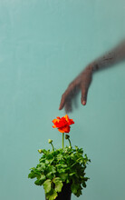 Black Female Hand Behind Glass And Buttercup Flower