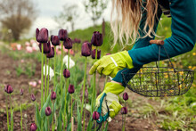 Gardener Picking Black Purple Tulips In Spring Garden. Woman Cuts Flowers Off With Secateurs Holding Basket
