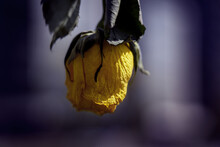 Closeup Of A Dried Yellow Rose