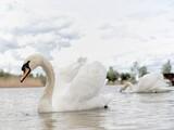 Fototapeta Łazienka - swan on the lake