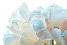 Beautiful Parrot Tulips Close-up. Stylized Image