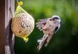 Leinwandbild Motiv Eine niedliche Schwanzmeise im Anflug an Maisenknödel im Garten