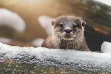 Otter On The Rock