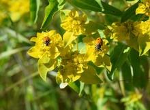 Ladybugs On Yellow Flowers (wildflowers)