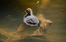 Blässhuhn  Küken Auf Einen Kleinen See