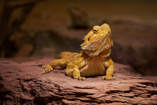 Closeup Shot Of A Yellow Central Bearded Dragon On A Stony Surface