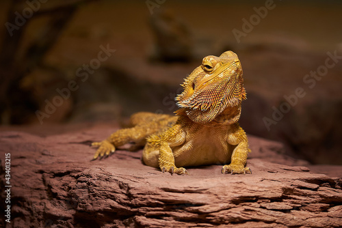 Photo Closeup shot of a yellow Central bearded dragon on a stony surface