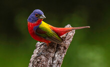 Painted Bunting Male 8