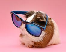 Cute Guinea Pig Wearing Sunglasses