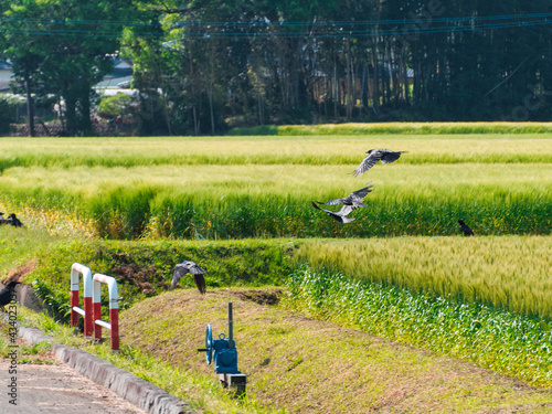 Fotografia 田んぼの周囲を飛んでいるカラス