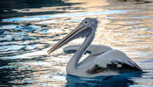 Side Shot Of Spot-billed Pelican (Pelecanus Philippensis), Floating On Water And Lifting Its Wings.