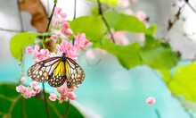 Yellow Glassy Tiger Butterfly With Pink Flowers And Green Plants.