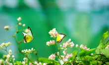 Beautiful Yellow Butterflies In Flight And Pink Creeper Flowers In Bloom With Green Leaves. Spring And Nature Background Concept