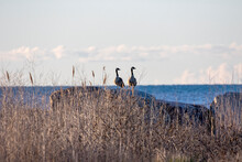 A Couple Of Canada Geese (Branta Canadensis) Sitting On A Rock On The Shores Of Lake Michigan