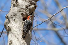 The Red-bellied Woodpecker (Melanerpes Carolinus) Near Nesting Cavity