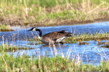 Canada Geese ( Branta Canadensis)  With Goslings. Natural Scene From Shore Of Lake Michigan.