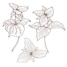 Wild Flowers, Trullium Sketch, Black Flower Line Art, Botanical Sketch, Forest Flowers Illustration