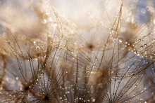 Abstract Dandelion Flower Background. Seed Macro Closeup. Soft Focus