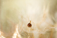 Snail Sits On The Dandelion. Nature Concept, Macro Photography