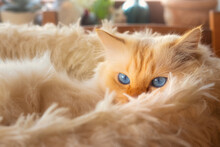 Fluffy White Cat With Blue Eyes Lying In A Fluffy Cat Bed