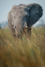 Close Up View Of An Elephant In The Okavango Delta