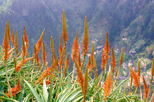 Beautifully Flowering Aloe Vera In The Mountains Of Madeira, Portugal